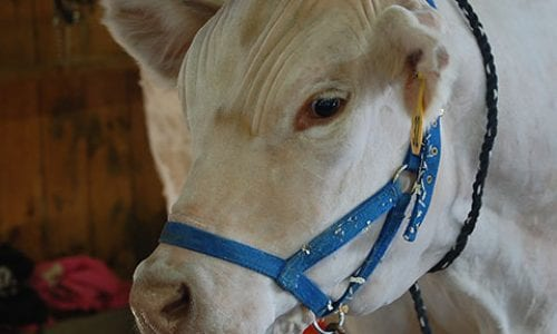 White Cow | Annual Marshfield Fair General Information