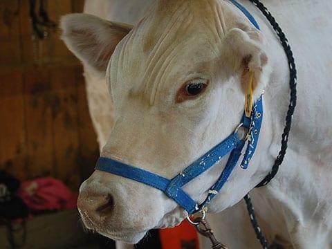 White Cow | Annual Marshfield Fair General Information