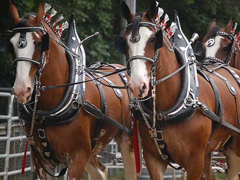 Horse Hitch Picture with three Horses | Daily Entertainment