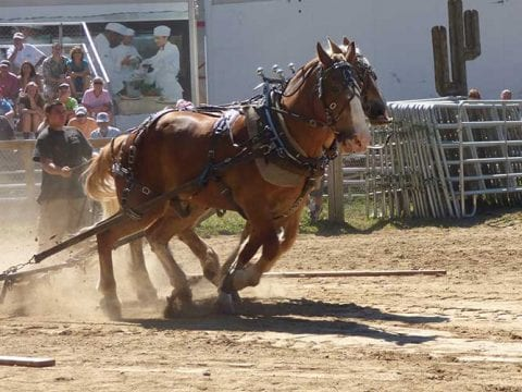 Pair of Horses Pulling Weight | Horse, Oxen & Pony Pulls